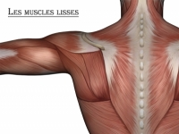 Muscles lisses